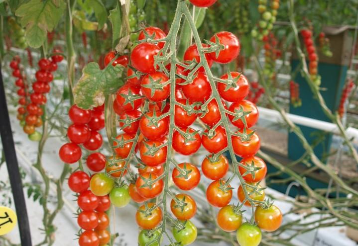 CO2-fangst kan gi klimanøytrale tomater