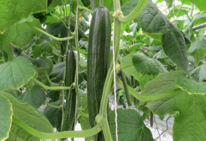 Derfor bør du velge trøndersk agurk!