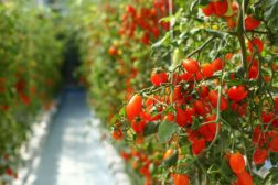 Fremtidens grønnsaksproduksjon under lupen