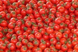 Tomatfestivalen 2019 på Finnøy
